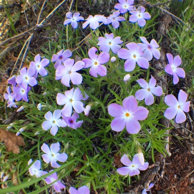 multicolored phlox flowers