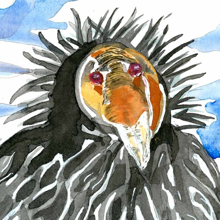 california condor head with red eyes, orange face and black feathers spread in a crown around head