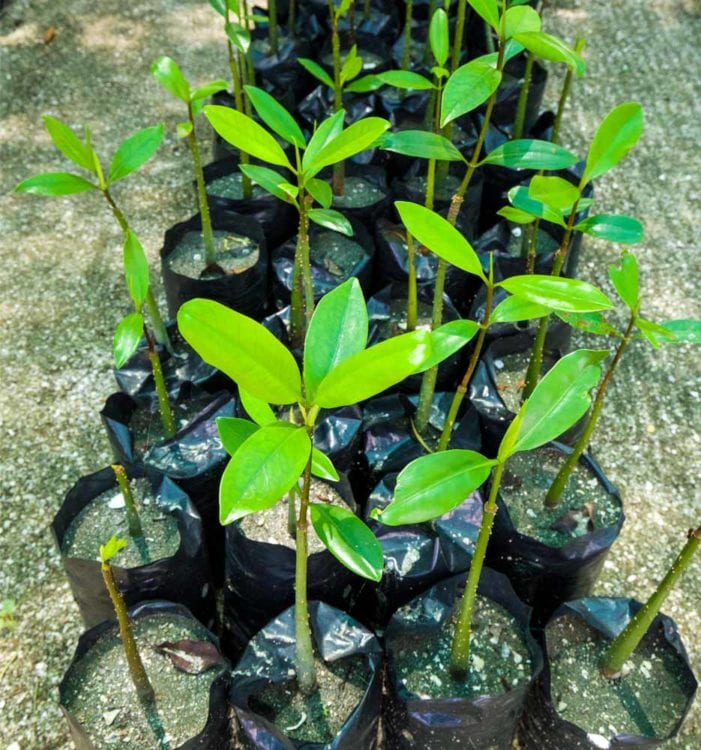 potted sapling mangroves