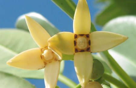red mangrove flowers with four yellow petals