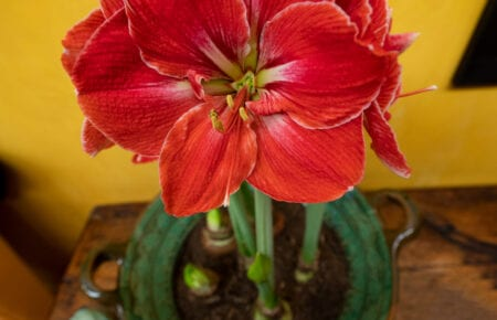 red flowering amaryllis in a clay pot with vibrant yellow wall in background