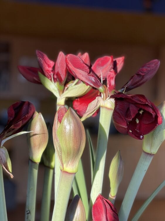 Deep red burgundy amaryllis getting ready to bloom