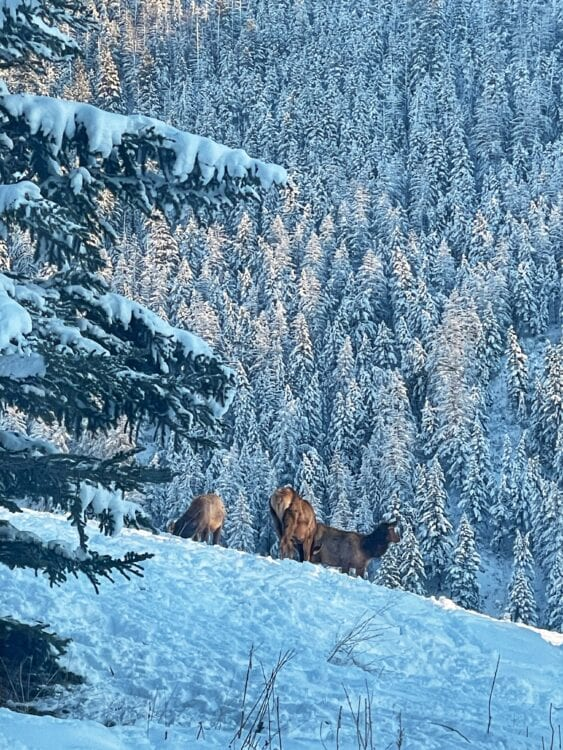photo of a snowy hillside with three elk