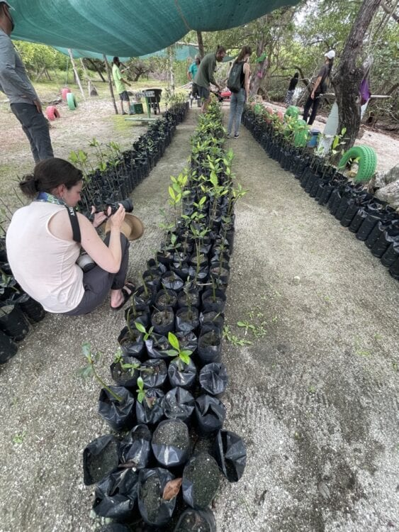 woman taking a picture of mangrove seedlings in black plastic bags with other people looking at them in the background.
